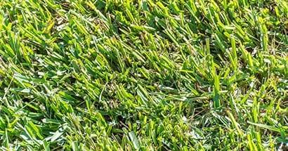 centipedegrass lawn