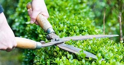 shrub maintenance