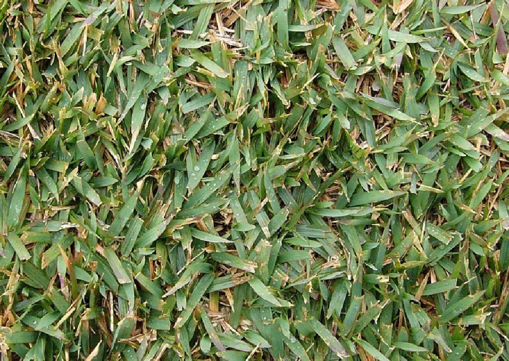 Zoysiagrass lawn