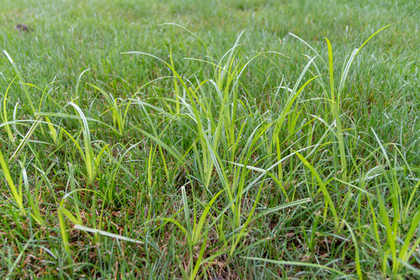 patch of tall nutsedge weeds