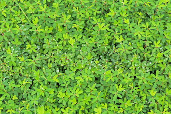 patch of lespedeza weeds
